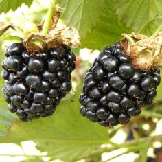 Blackberry, Food, Culture, Boutique, Plants, Raspberry Bush, Strawberry, Trees And Shrubs, Apple Tree