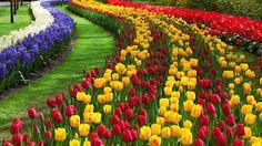 Resultado de imagen de tulipan