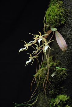 Aerangis fuscata, native to Madagascar. Grown and photographed by Karlboms orchids.