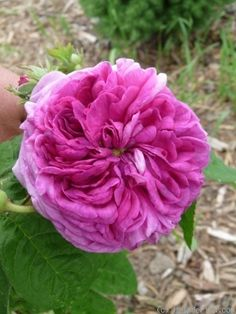 """""""Ellen Tofflemire"""" Gallica. Paul Barden (United States, 2001). This rose smells sooooo good! Is very healthy and bred by a local Oregon breeder."""