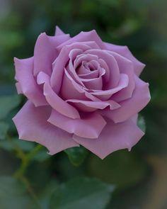 Beautiful Flowers Wallpapers, Beautiful Rose Flowers, Flowers Nature, Amazing Flowers, Pretty Flowers, Lavender Roses, Tea Roses, Purple Flowers, Flower Backgrounds
