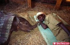 """After their parents were killed by poachers, these little elephants are brought to the elephant orphanage, where their keepers sleep with them, this little elephants will wake up during the night crying from nightmares of having seeing their """"herd"""" slaughter.  The keepers calm them down and reassure them."""