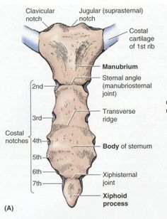 The sternum is located in the middle of the thorax, in between the two sets of r… - Bildung Muscle Anatomy, Body Anatomy, Anatomy Study, Anatomy Bones, Gross Anatomy, Anatomy Images, Skeleton Anatomy, Medical Anatomy, Human Anatomy And Physiology