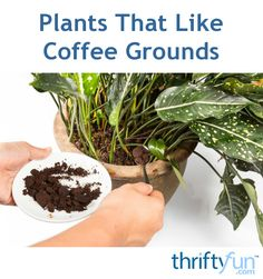 coffee plant Many plants thrive in soil rich in nitrogen. As they decompose, coffee grounds release nitrogen, potassium, phosphorus, and other minerals. This is a guide about plants that like coffee grounds. Nitrogen For Plants, Fertilizer For Plants, Water Plants, Garden Fertilizers, Garden Soil, Garden Plants, Indoor Plants, House Plants, Indoor Flowers