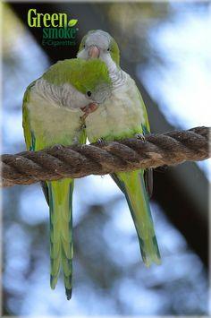 samen Amor Animal, Love Birds, Parrot, Smoke, Kit, Parrot Bird, Nature, Vertebrates, Animales