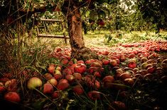 Apple Tree nature autumn fall autumn pictures fall pictures fall images autumn images apple tree images of fall pictures of fall Mabon, Samhain, Apple Harvest, Autumn Harvest, Golden Harvest, Autumnal Equinox, Harvest Season, Harvest Moon, Harvest Time