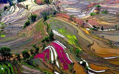 VIEW OF RICE FIELDS IN YUNNAN CHINA - AMAZING COLORS!