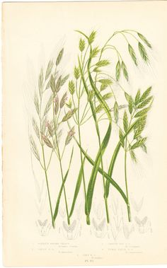 Antique Botanical Print Barren Brome Grass by BrocantePrints