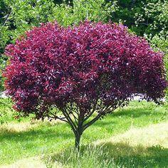 Shade Trees Nursery Purple Leaf Sand Cherrywater