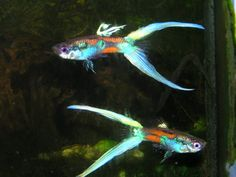 Guppies Are My Favorite Tropical Fish ~ A speciality hybrid breed of japanese Blue Swordtail guppies.
