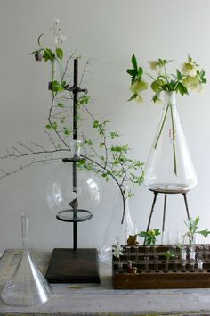 Helleborus and other flowers in vases from laboratory glassware.