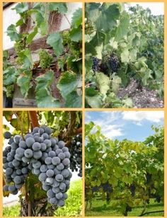 Growing Grapes - Grape growing guide for beginners