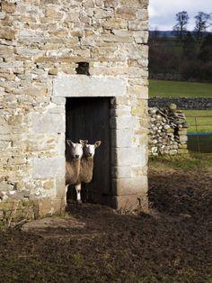Two Sheep in a Field Barn Near Aysgarth, Yorkshire Dales, England, United Kingdom, Europe