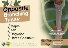 Chestnut Horse, Tree Care
