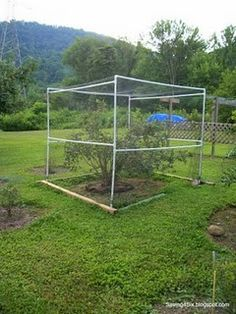 pvc pipe and special netting to keep birds from eating blueberries