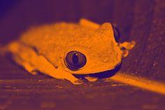 Crazy Eyes Frog #2