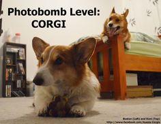 Corgi funny Z