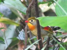 "The image is a ""red-billed leiothrix"" which is called ""soushi-tyou"" in Japanese."