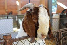 Livestock - State Fair of Texas 2011