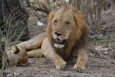 Lion exhausted after days of mating in Masai Mara, Kenya.