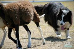 Sheep dog border collie