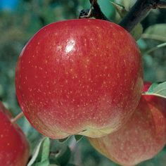 Stark® Super Red Fuji Apple - Apple Trees - Stark Bro's