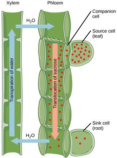 role of transpiration and translocation in plants Transpiration also includes a process called guttation, which is the loss of water in liquid form from the uninjured leaf or stem of the plant, principally through water stomata studies have revealed that about 10 percent of the moisture found in the atmosphere is released by plants through transpiration.