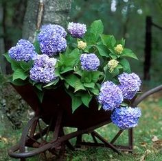 Hydrangeas are a must-have in my future garden