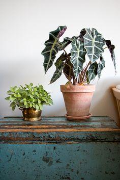 From left to right: - Pixie Peperomia (Peperomia orba) - Kris Plant (Alocasia sanderiana)