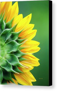 Yellow Sunflower Canvas Print by Christina Rollo.  All canvas prints are professionally printed, assembled, and shipped within 3 - 4…
