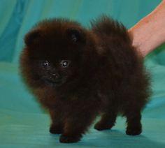 black pom puppy