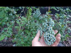 Borówki Obrodziły - będą świetne zbiory   Jest jednak problem - YouTube Fruit, Youtube, Youtubers, Youtube Movies