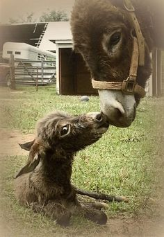with her mom. #donkeys Visit our page here: http://what-do-animals-eat.com/donkeys/