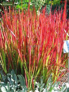 https://www.gardenpalms.com//Userfiles/FotosProdMP/Imperata cylindrica Red Baron