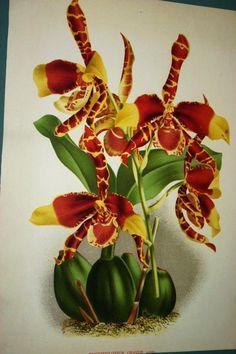 Lindenia Print Limited Edition Odontoglossum Grande Orchid Prize Collectable  cheetahdmr@aol.com asmatcollection on ebay and bonanza.com
