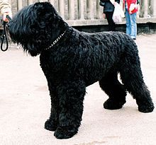 Black Russian Terrier. Wish I had the space for one of these. It sounds like a really nice dog, and big too. I love big dogs =o)