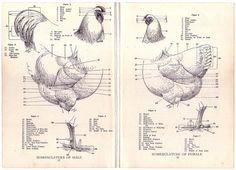 1922 Vintage ROOSTER AND CHICKEN NOMENCLATURE Illustration .