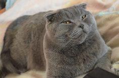 Британский кот, кличка Филя