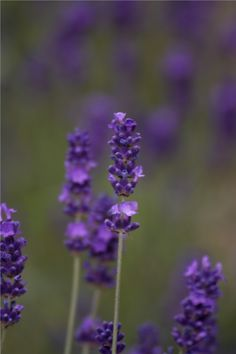 Fennel and Fern » How to grow lavender from seed
