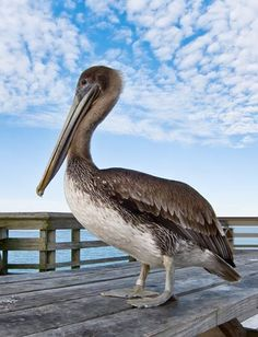 The Eastern Brown Pelican is very common along the South Carolina coastline and is the only pelican in the world that is not white.