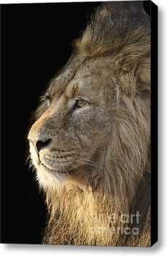 Lion  Stretched Canvas Print / Canvas Art By Darren Wilkes