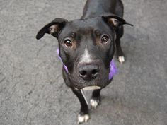 ~~BEAUTIFUL 2 YR OLD LITTLE GIRL  TO BE DESTROYED 8/5/14!! Manhattan Center -P My name is VALINTINA. My Animal ID # is A1007116. I am a female black and white pit bull mix. The shelter thinks I am about 2 YEARS old. *** $250 DONATION TO THE NEW HOPE PARTNER THAT PULLS!! Please contact Urgent for details* **  I came in the shelter as a STRAY on 07/17/2014 from NY 10457, owner surrender reason stated was STRAY.
