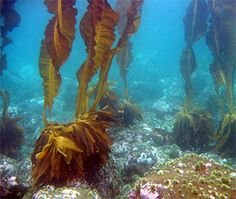 Kelp, photo courtesy of Heloise Chenelot Kelp Forest, Underwater, Coastal, Ocean, Under The Water, The Ocean, Sea