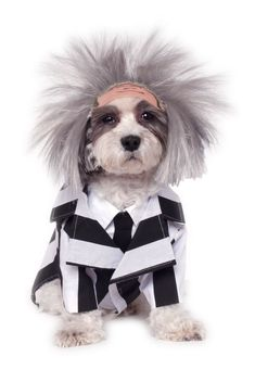 Beetlejuice is ready to haunt your home and yard in our Beetlejuice Dog Costume. This Beetlejuice Dog Costume includes a striped jacket and dog wig. Pet Halloween Costumes, Theme Halloween, Halloween Fancy Dress, Pet Costumes, Scary Halloween, Costume Ideas, Spirit Halloween, Halloween Rocks, Halloween 2018