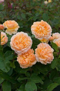 The Lady Gardener ™ (Ausbrass)