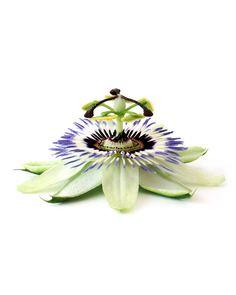 passion flower   STILL (mary jo hoffman)