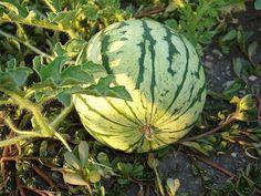 Как вырастить сладкий спелый крупный арбуз в наших условиях?