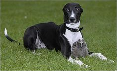 Buddies ... Torque and Shrek    A GREYHOUND and an owl have formed a bizarre friendship at an animal centre.