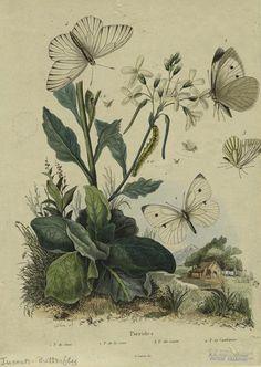 heaveninawildflower: 'Pierides' by Félix-Édouard Guérin-Méneville (1799-1874 ). Image and text courtesy NYPL Digital Gallery