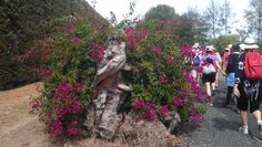 GORGEOUS MATAKANA - The Fruit Loops Walk-Run winds through some private properties and Matakana vineyards - these bougainvilleas growing out of a stump were stunning!  Great scenery took our minds off the afternoon summer sun! More Matakana scenery here... http://www.matakanacountry.co.nz/markets-lodging-accommodations-auckland-coast-wine-country-hotels/2012/10/21/matakana-coast-beaches-islands-bays-reefs-rock-pools-things-to-do-new-zealand-north-island-world-class/